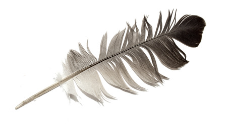 lightly: Feather of a bird on a white