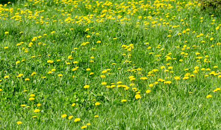 dandelion field: field with yellow dandelions Spring Stock Photo