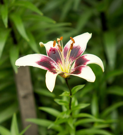 fulvous: Lily Flowers in the Garden