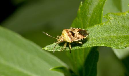 green shield bug: stink bug