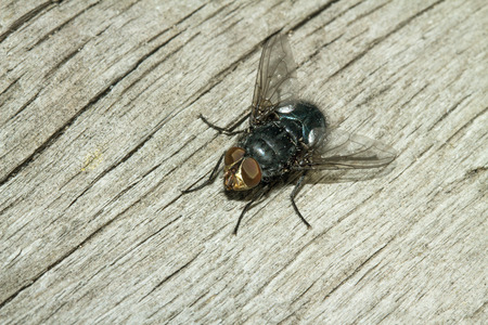 carrion: Blow fly, carrion fly