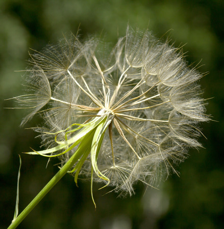 pappus: Closeup of dandelion against green background Stock Photo