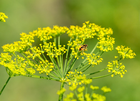 dill: Fresh dill flowers Stock Photo