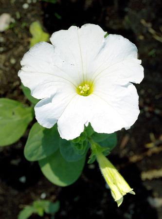 bindweed: flower bindweed