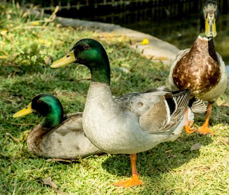 drake: duck drake in nature Stock Photo