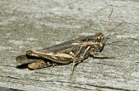 grasshoppers: Grasshoppers Stock Photo
