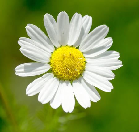 white daisy on a green background Stok Fotoğraf