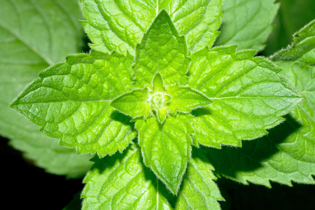 peppermint: peppermint, green plant