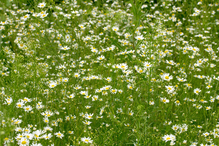 daisy stem: background field of daisies Stock Photo