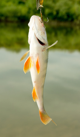 fly fishing: Perch caught on  lure against the landscape