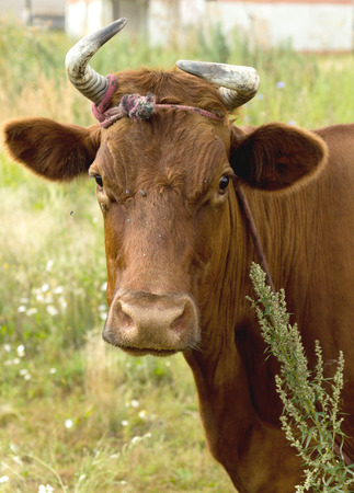 breed: red cow dairy breed