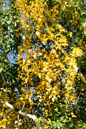 birch leaves green and yellow background