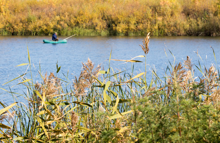 common reed: Common reed (Phragmites), autumn background Stock Photo