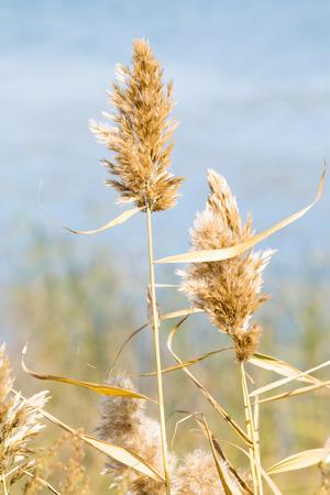 phragmites: Common reed (Phragmites), autumn background Stock Photo
