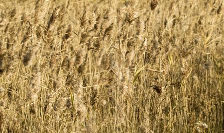 bulrush: Autumn background bulrush Stock Photo
