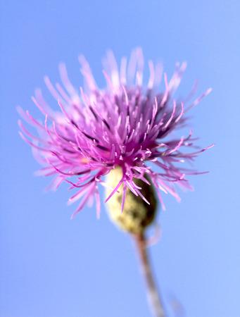 thistle plant: thistles flower