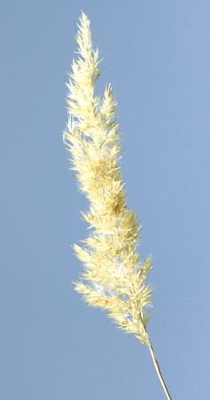 reed stem: bulrush on background sky Stock Photo