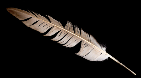 dead duck: feather of a bird on a black background Stock Photo