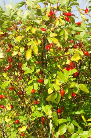 rose bush: wild rose bush with red berries
