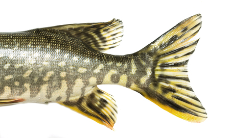 ugliness: fish tail pike on a white background Stock Photo