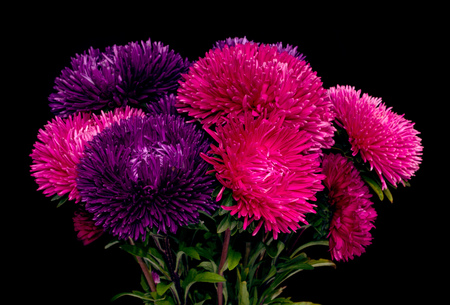 aster flowers: aster flowers isolated on white background