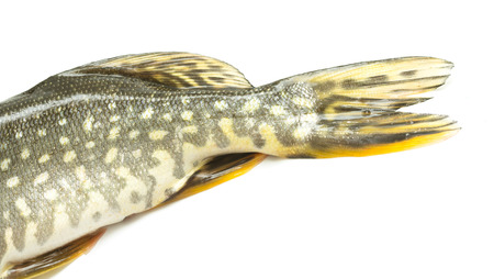 fish tail: fish tail pike on a white background Stock Photo