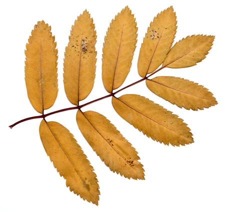 wizen: autumn leaves on a white background, rowan Stock Photo