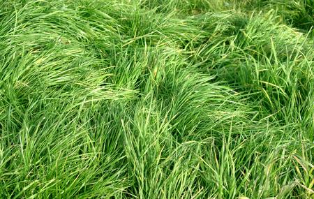 grassy plot: green lawn Foto de archivo