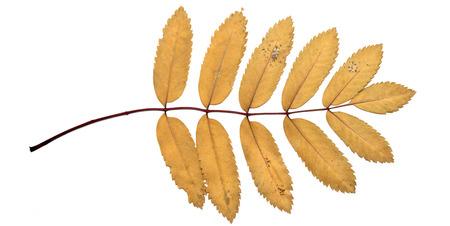 serrate: autumn leaves on a white background, rowan Stock Photo