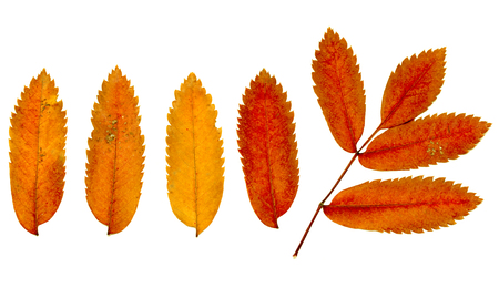 sorb: autumn leaves on a white background, rowan Stock Photo
