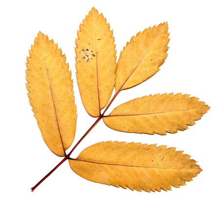 hojas secas: Hojas de otoño sobre un fondo blanco, serbal