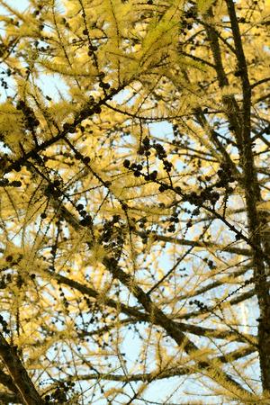 arborvitae: Autumn trees arborvitae