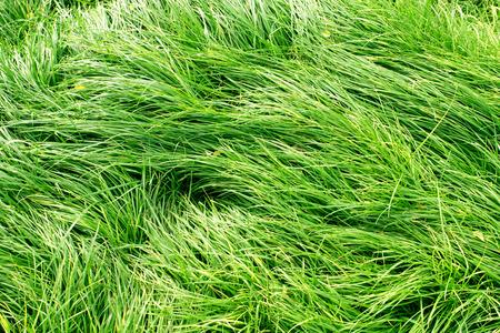 lush: lush green grass background Stock Photo