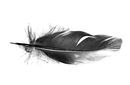 black bird feather isolated on white background Фото со стока