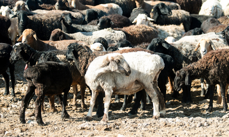 livestock sector: sheep, goats out to pasture in the steppe