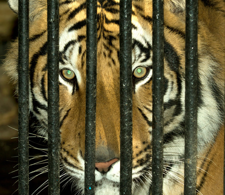 tiger hunting: Amur tiger in a cage, portrait
