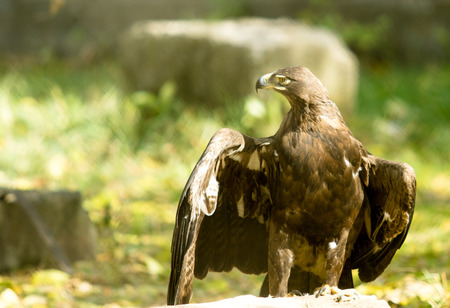 yellow tailed: Eagle close up in a zoo for the grid Stock Photo