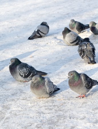 Group of pigeons on snow