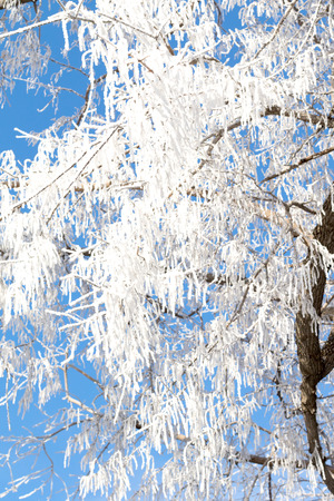 rime frost: Closeup of branches of a tree, covered with rime frost against a blue sky