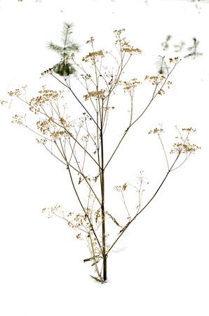 buisson: épine brousse dans la neige d'hiver