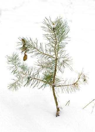 thorn bush in winter snow