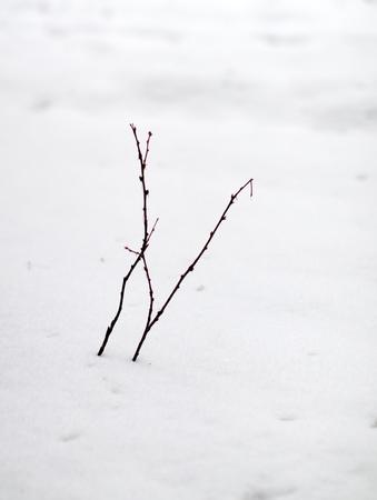 thorn bush: thorn bush in winter snow