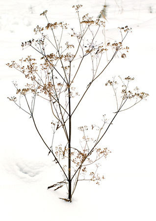 thorn: thorn bush in winter snow