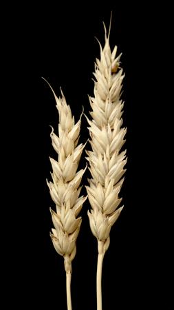 barley head: ear of wheat on a black background