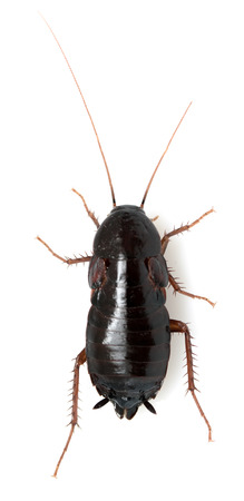 madagascar hissing cockroach: cockroach on a white background