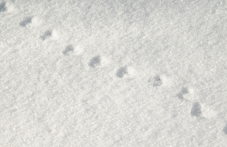 traces: traces of the mouse on the white snow