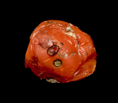 fungal disease: missing rotten tomato on a black background