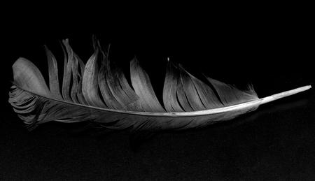 plume d'oiseau sur fond noir