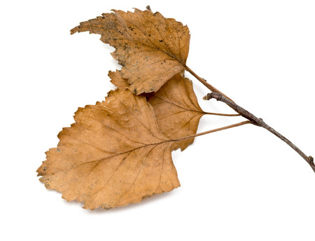 alder tree: dry birch branch with dry leaves on a white background