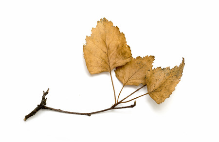 macro leaf: dry birch branch with dry leaves on a white background